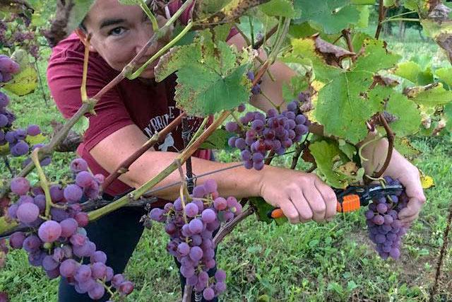 Weinernte Rotwein