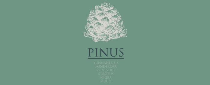 Pinus Adventsfeier