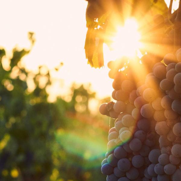 Wein Abendsonne