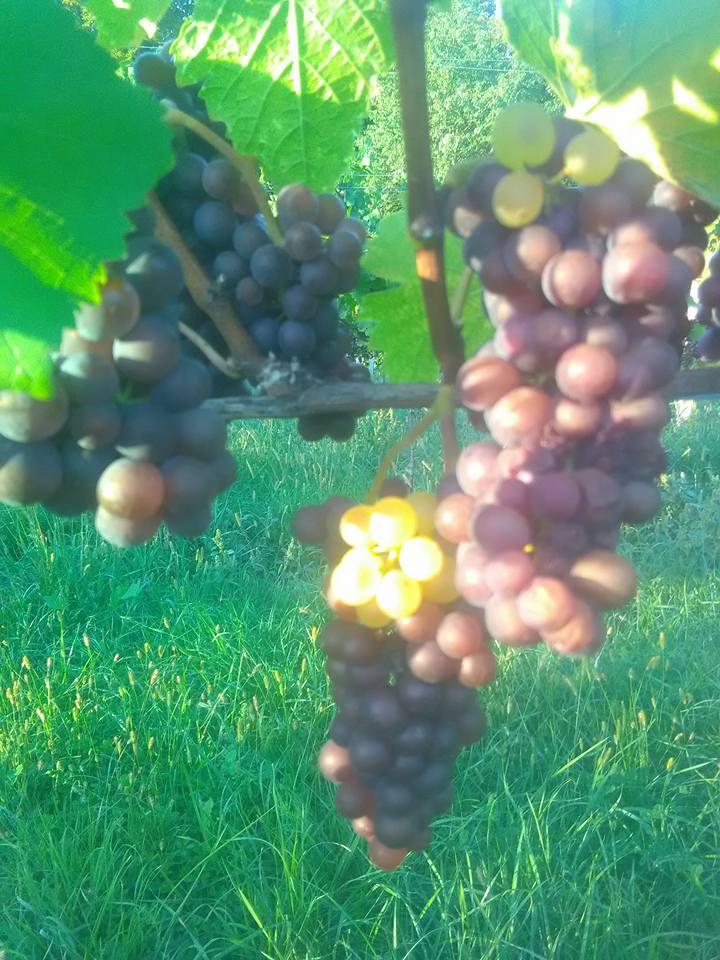 Weintrauben vom Weingut Engel
