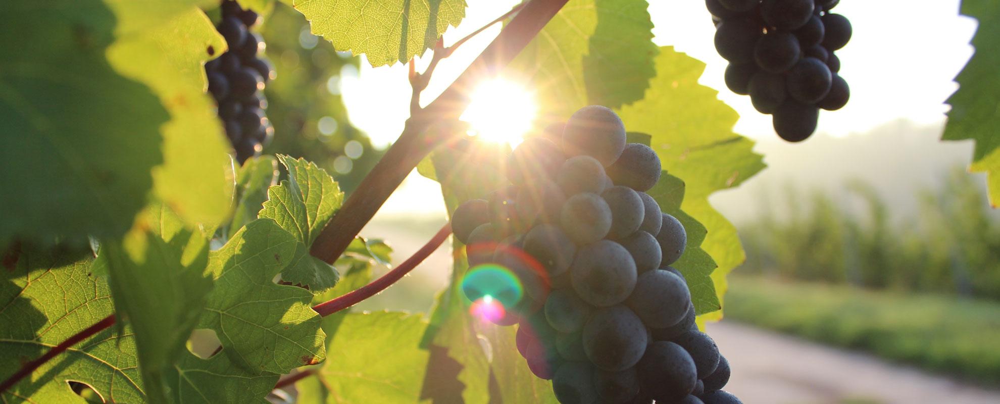 Blaue Weintrauben in der Sonne